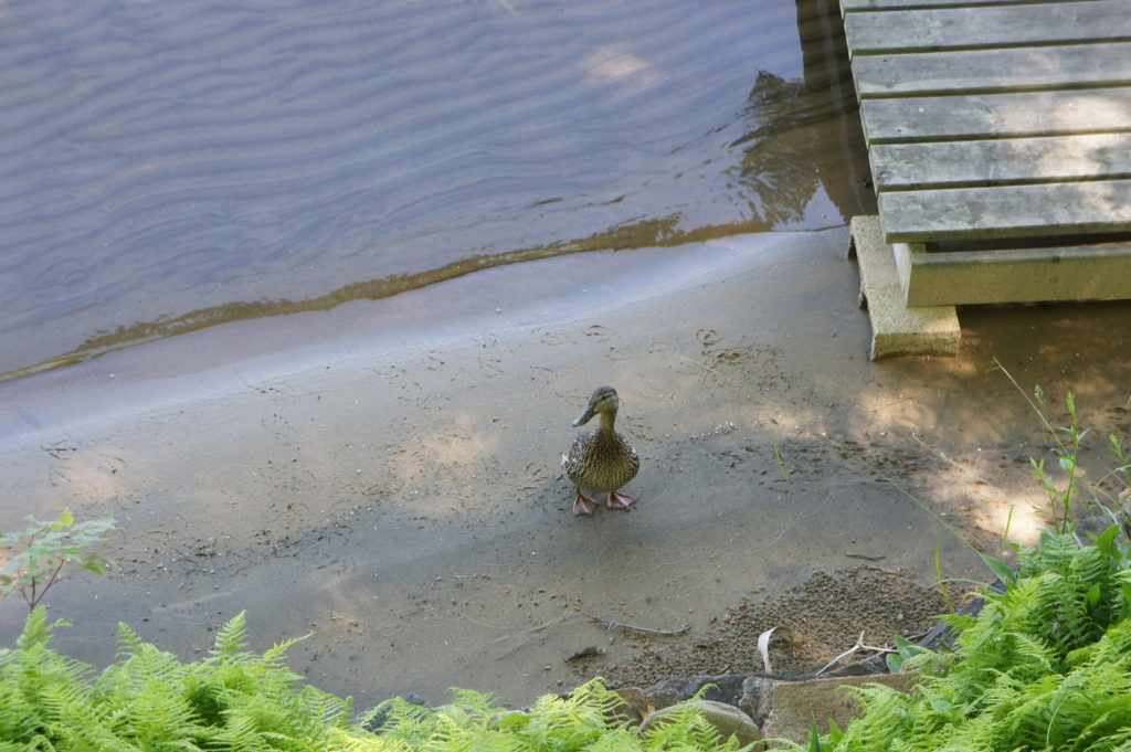 Speaking of ducks, this one has been spending a lot of time at the cottage.